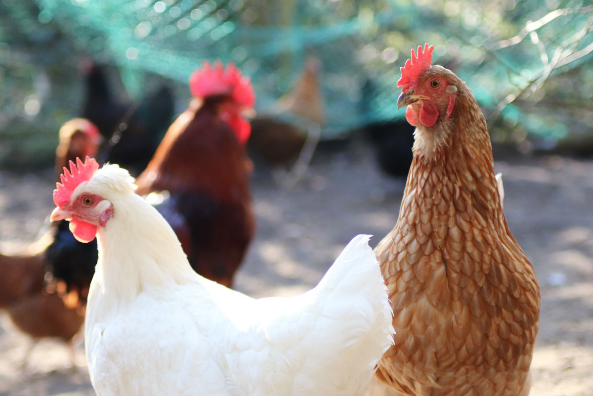 Mejora la crianza de aves de corral con mallas de acero